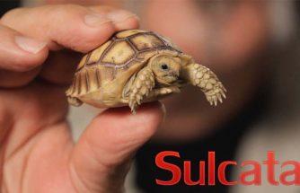 เต่า Sulcata
