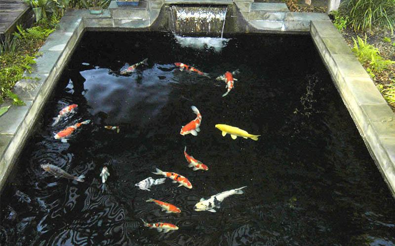 เลี้ยงปลาคาร์ฟ